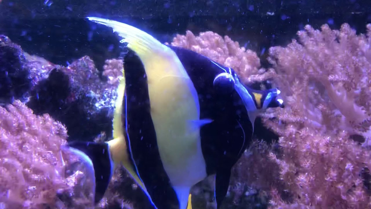 Moorish Idol Attacked By Sohal Tang Video 2 Youtube