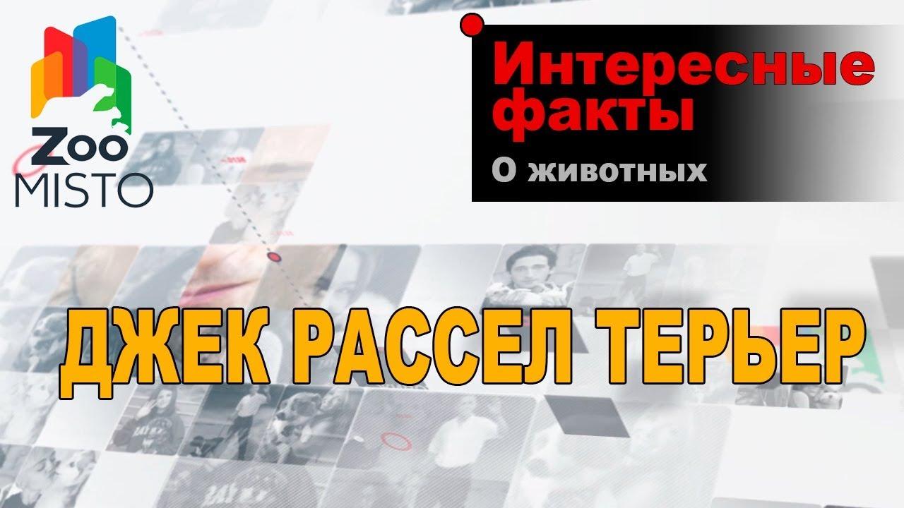 Джек Рассел Терьер - Интересные факты о породе