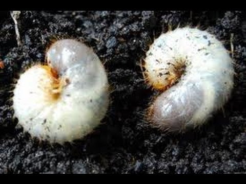 Army Grubs Lawn Pests Australia Armyworms In Lawns