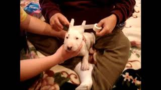 Bull Terrier Ear Taping And Training