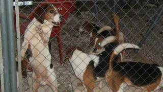 Beagles Rescued From Barcelona Testing Lab, November 2011.wmv