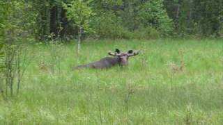 Moose| Wildlife in Chernobyl zone: Лось - Чернобыль, зона отчуждения(Elk in Chernobyl Exclusion Zone. Video made near Chernobyl Nuclear power Plant. More detail about elk in chernobyl zone - http://www.chornobyl.in.ua/en/ ..., 2009-05-30T18:55:30.000Z)