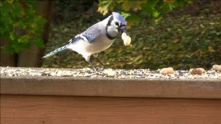 Video for Cats - Blue Jays, Chickadees, Tufted Titmouse, Pigeons