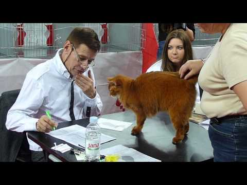 Somali Red on catshow - bribing the judge with charm :)