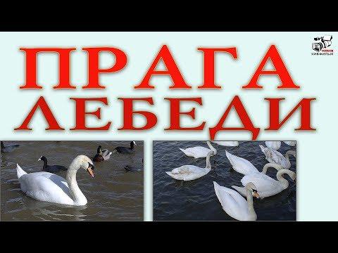 🎴  Пражские лебеди на реке Влтаве. Фрагмент документального фильма ПРАГА ЧЕХИЯ #СоветыКирилла