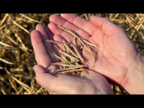 Rapeseed Showing Application Video
