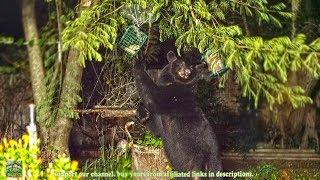 Mama Bear Eat from Bird Feeders - unedited night 4K footage