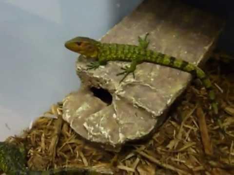 Baby caiman lizards ar...