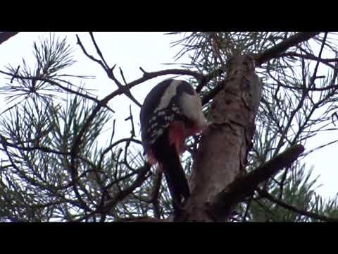 Дятел на дереве съёмка Sony Cyber-shot DSC-HX60 (зум 30) HD