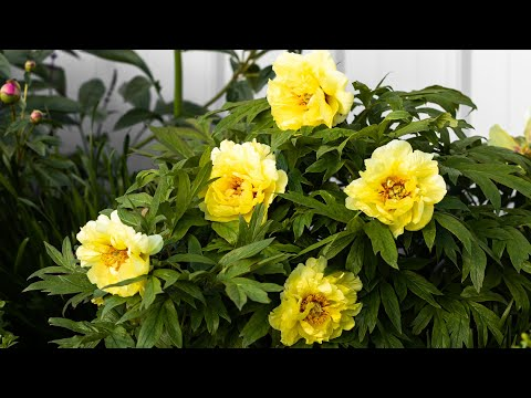 Which Type Of Peony To Plant In Your Flower Garden