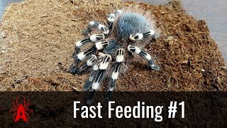 Fast Feeding #1 Acanthoscurria geniculata