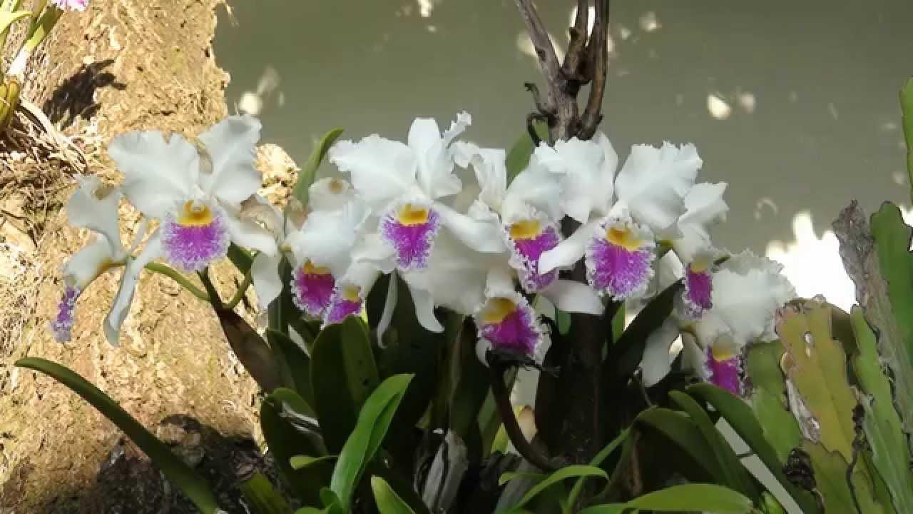 Image result for orquideas cattleya
