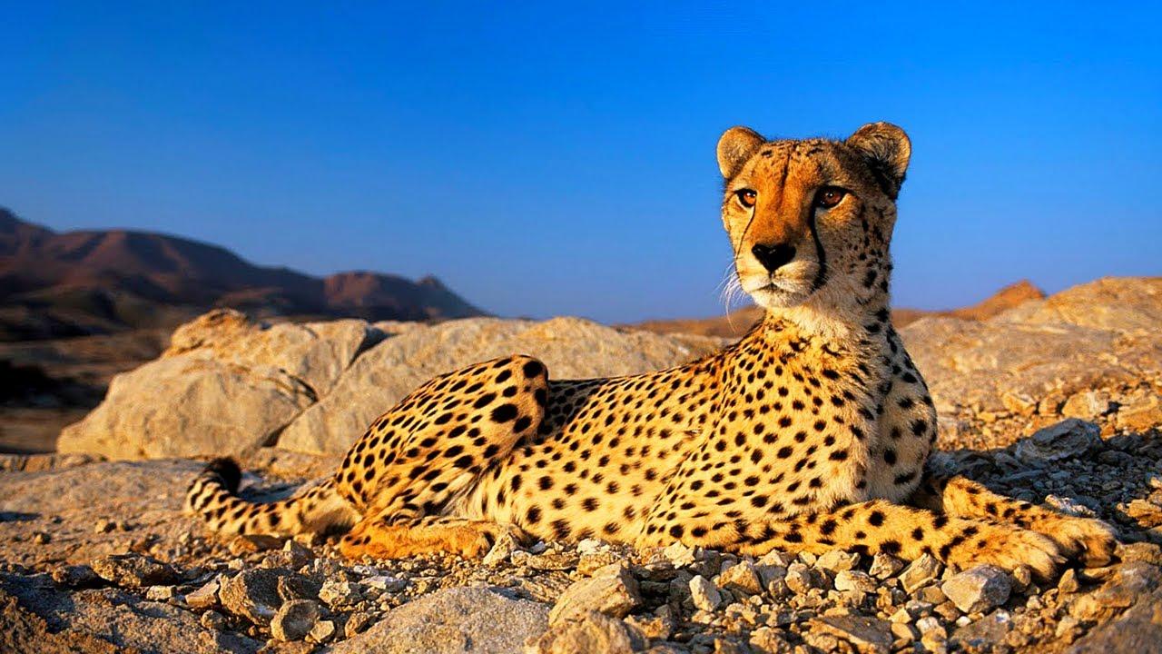 Iranian Fauna Big Cats