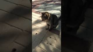 Милый кот мяукает. Cute Cat Meow. Gatos Graciosos. Lustige Katzen. Kucing Lucu. Chats Drôles. 面白い猫 猫