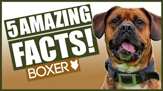 BOXER DOG FACTS! 5 Incredible Facts About The Amazing Boxer Puppy!
