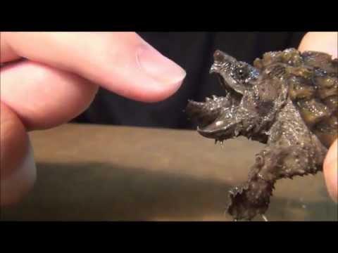 Gator Snapper vs Finger