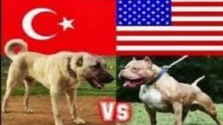 PITBULL VS KANGAL FIGHT