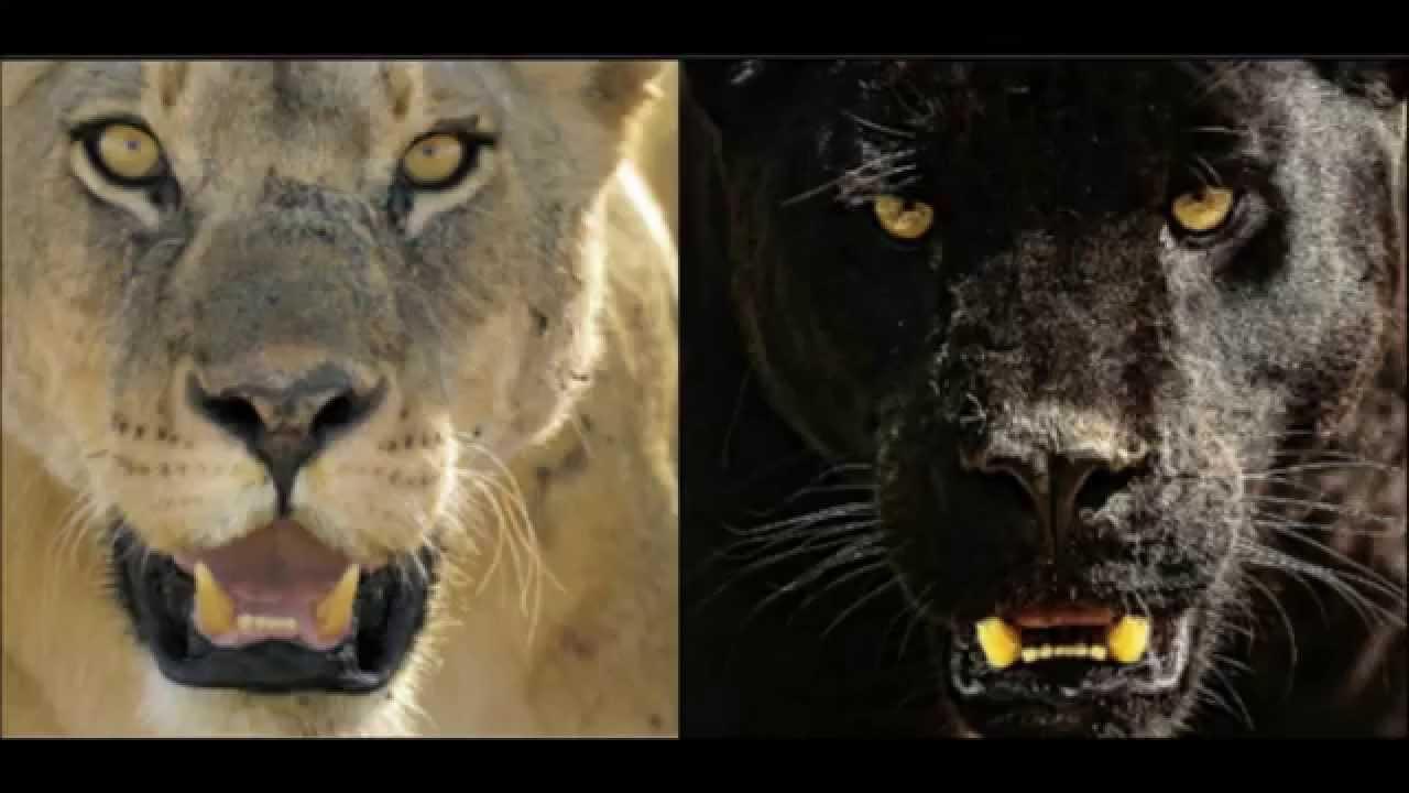 African Lioness Vs Big Male Jaguar Youtube