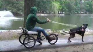Dog takes owner for ride in dog cart