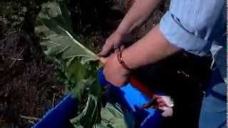 How To Harvest Rhubarb