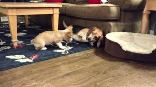 Welsh Corgi Puppy Plays With A Beagle