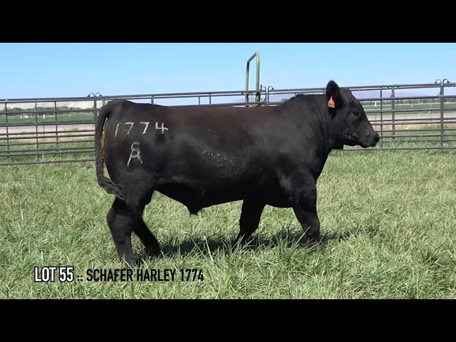 Mid Valley Bull Sale Lot 55