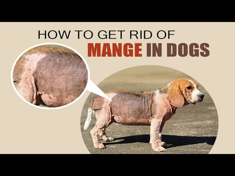 How To Treat Mange In Dogs || Home Remedies For Mange In Dogs