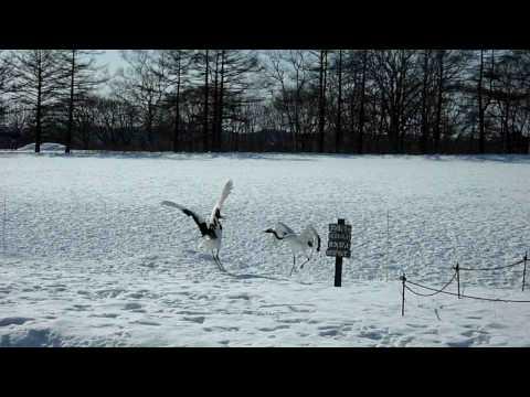 Dancing Japanese Crane @ Kayanuma