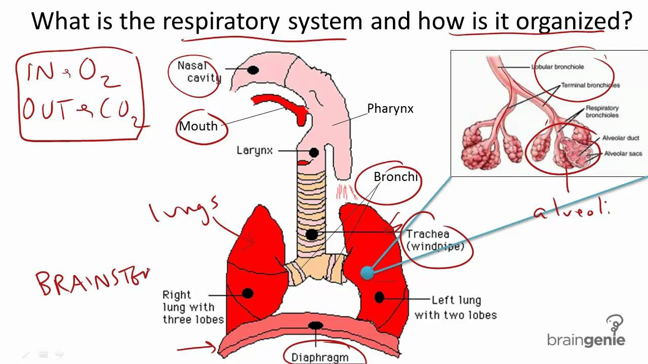 86 Respiratory System Structure And Function Youtube
