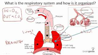 8.6 Respiratory System Structure and Function