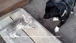 Собака зовет котенка играть Бездомные животные в приюте Дари добро Новосибирск