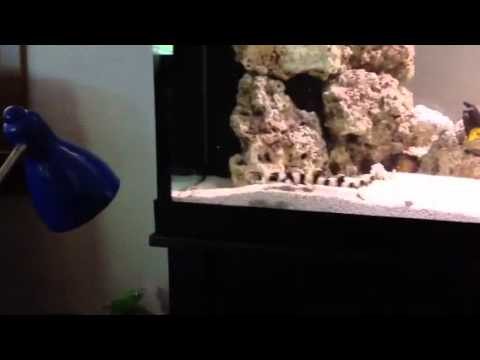 Black Banded Cat Shark - YouTube