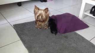 Yorkie Welpen Erste Schritte - Puppy's First Steps