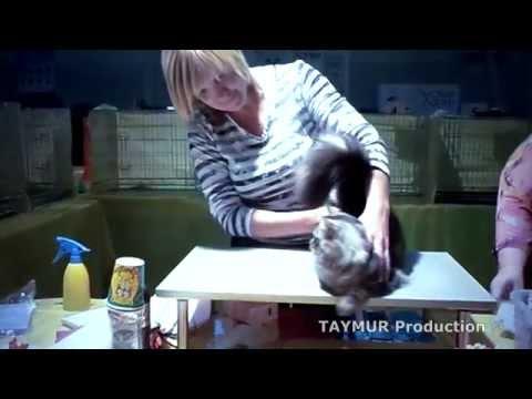 сибирские котята шоу класса