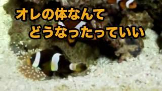 アイブロー2号を海水魚水槽に移籍させた後、まさかのカクレクマノミた...