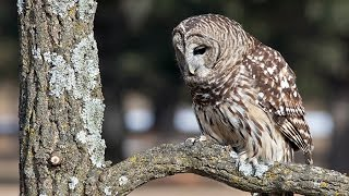 These Caterwauling Barred Owls Sound Like Monkeys - Calling All Turkeys thumbnail