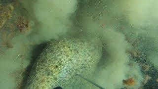 Подводная охота на камбалу.