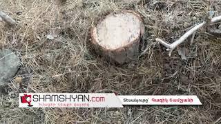 Ծառերի սպանդ Ապարանի ջրամբարի մոտ գտնվող անտառում