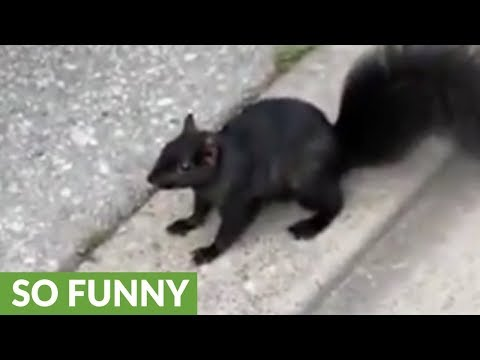 Desperate squirrel fearlessly approaches human for food