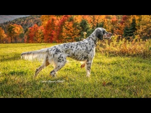 Hunt with English Setter's