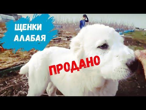 Щенки алабая ПРОДАЖА 21.03.2020