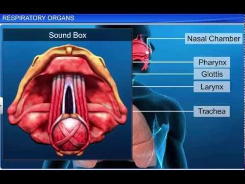 CBSE Class 11 Biology, Breathing and Exchange of Gases-1, Respiratory Organs