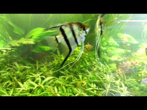 75G - Angelfish & Apistogramma Sp. 'Breitbinden'