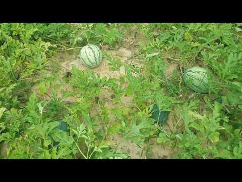 The Nature Watermelon Farm