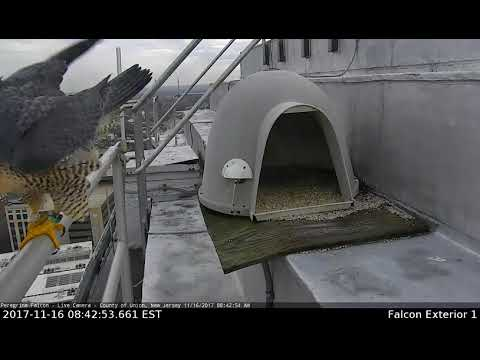 Peregrine Falcons Pair Bond-Union County Courthouse