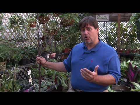 Growing Plum Trees : How To Grow Native Plum Trees