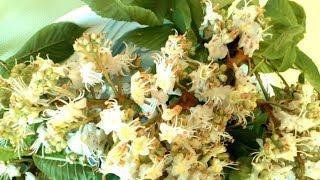 видео Гидролат цветов каштана