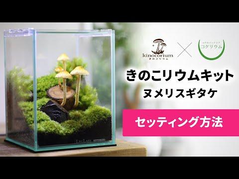きのこリウムキット ヌメリスギタケ [セッティング方法]