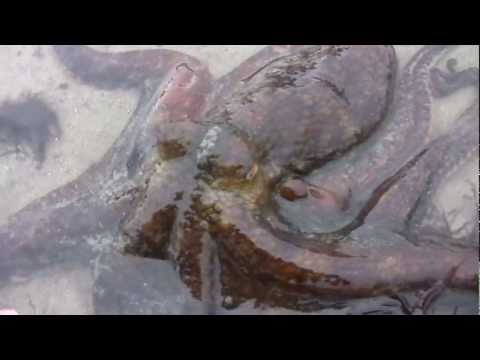 Two spot octopus found in a tidepool