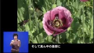 vol 697 植えてはいけないケシ撲滅!【平成26年6月1日~10日放送】